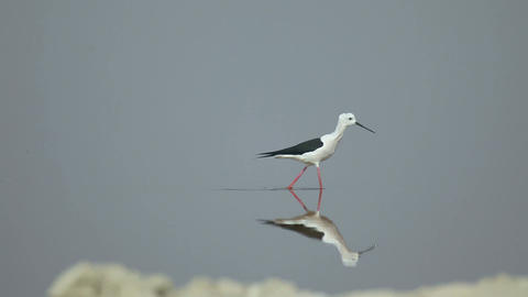 Black-winged stilt Stock Video Footage