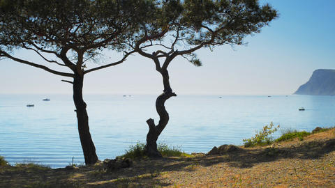 Beautiful seascape and Crimean pine on a backgroun Footage