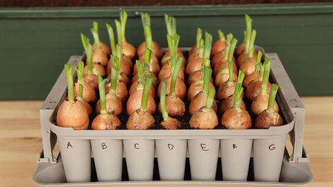 Taking onion seeds from nursery box 10a Stock Video Footage