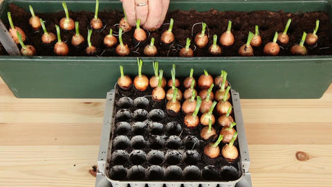 Seeding onions into the large pot 11b Stock Video Footage