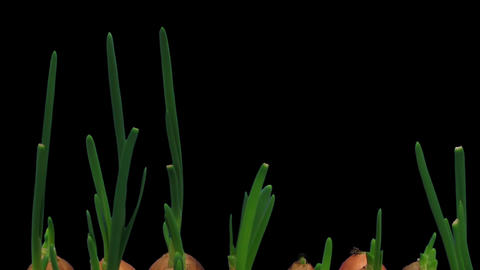 Time-lapse of growing onions 12b2 Stock Video Footage