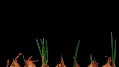 Time-lapse of growing onions 15b2 Stock Video Footage