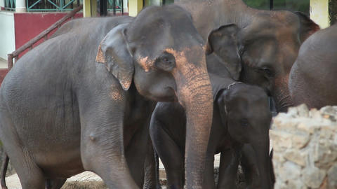 Elephants walk Stock Video Footage