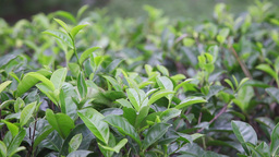 Tea leaves Stock Video Footage