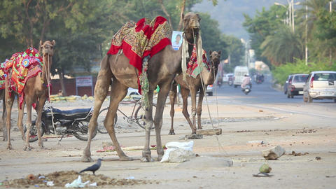 Camels Stock Video Footage