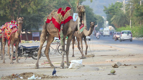 Camels Footage