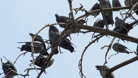 Pigeons On The Branches stock footage