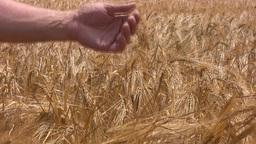 Good crop of rye Stock Video Footage