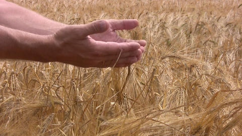 Good crop of rye Stock Video Footage