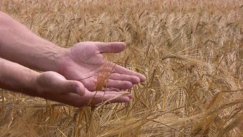 Good crop of rye Footage
