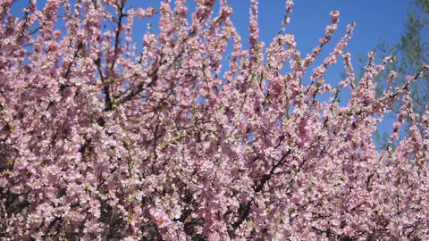 Flowering apricot tree, shaken wind 01 Footage