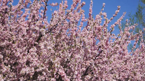 Flowering apricot tree, shaken wind 01 Stock Video Footage