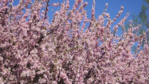 Flowering apricot tree, shaken wind 01 Stock Video Footage