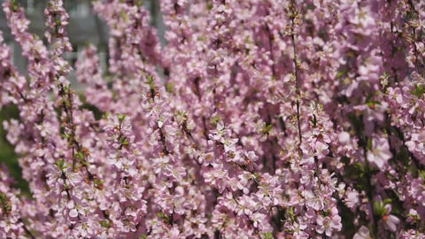 Flowering apricot tree, shaken wind 03 Stock Video Footage