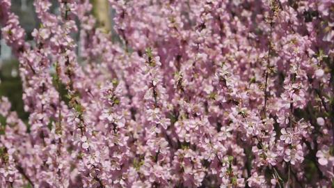 Flowering apricot tree, shaken wind 03 Stock Video Footage