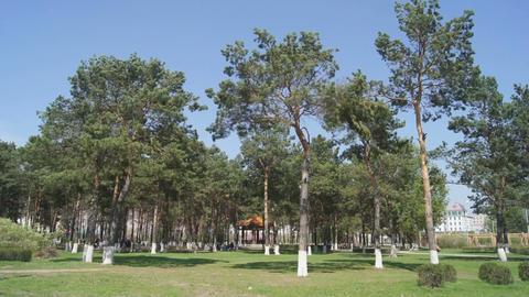 Heihe Park Longbin Pines 01 Stock Video Footage