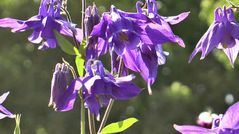 Beautiful aquilegia alpina closeup Footage