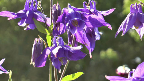 Beautiful aquilegia alpina closeup Stock Video Footage