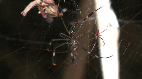 couple of golden silk orb weavers (web spider) in their web Stock Video Footage