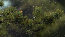 Rain Falling Over Pine Tree 02 stock footage