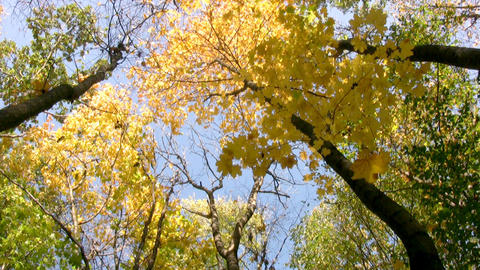 Autumn leaf fall Stock Video Footage