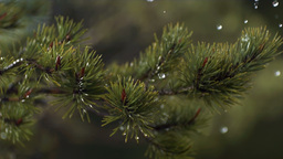 Rain Falling Over Pine Tree 04 stock footage