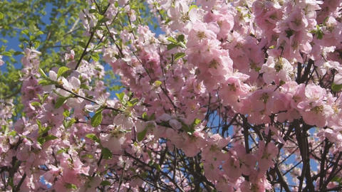 Flowering apricot tree 06 pan right Stock Video Footage