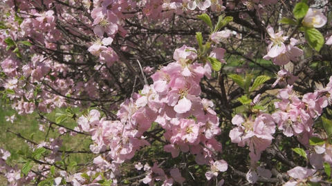 Flowering apricot tree 08 close up Stock Video Footage