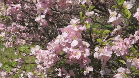 Flowering apricot tree 08 close up Footage