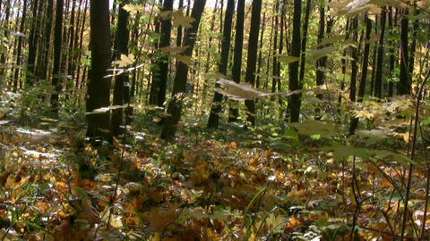 Autumn forest panorama Footage