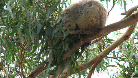 Koala in a tree moving around Stock Video Footage