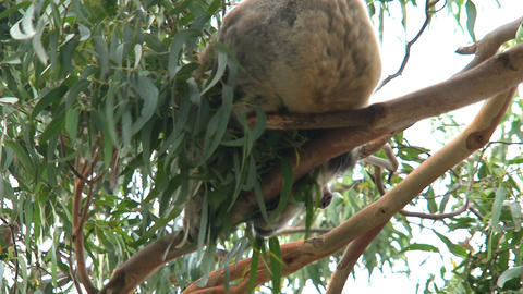 Koala in a tree moving around Footage