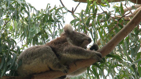 Koala in a tree eating eucalyptus leaves Stock Video Footage