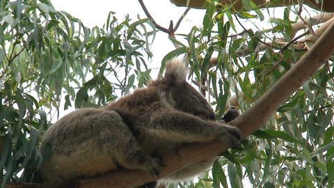 Koala in a tree eating eucalyptus leaves Footage