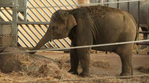 Small elephant, zoo Footage