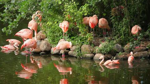 Flamingos Stock Video Footage