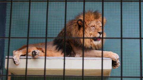 Beautiful big lion in zoo Stock Video Footage