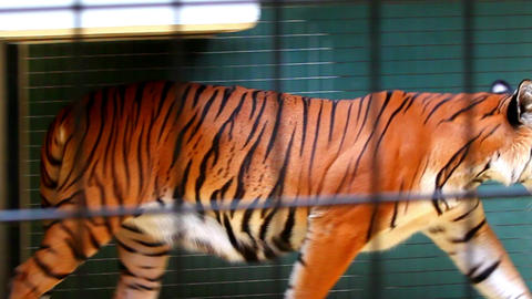 Tiger in zoo Footage