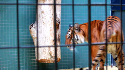 Tiger in zoo Stock Video Footage