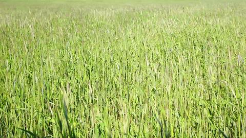 Polish village, green wheat field, Poland Stock Video Footage