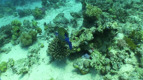 Bluetail trunkfish feeds on the coral reef Stock Video Footage