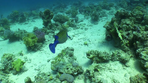 Bluetail trunkfish feeds on the coral reef Footage