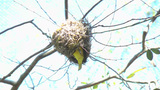 Taveta Golden Weaver Building A Nest stock footage