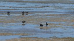 Black swans walking in a bay Stock Video Footage