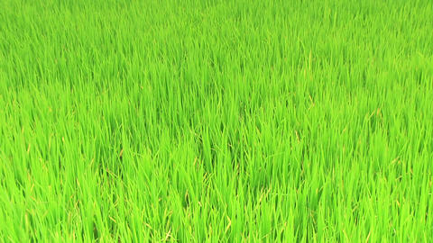 Rice Plant stock footage