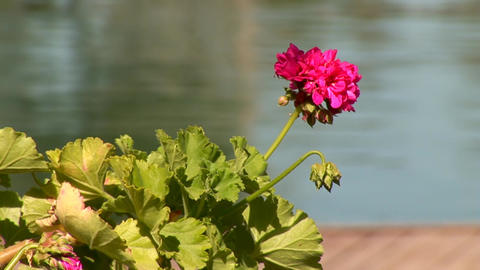 flower in water Stock Video Footage