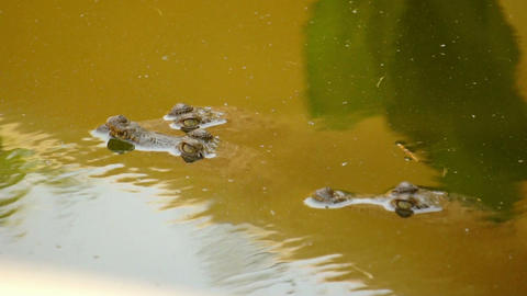 Small Crocodiles swimming in a swamp Footage