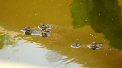 Small Crocodiles swimming in a swamp Stock Video Footage