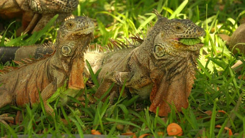 iguanas eating Stock Video Footage