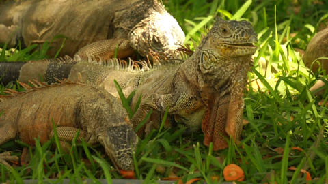 iguanas eating Footage
